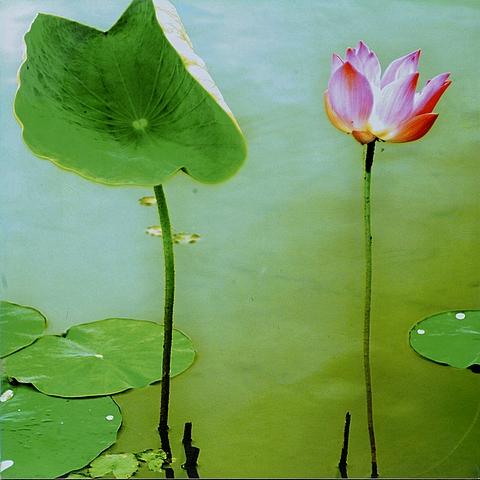 sayan lotus-36x36in